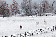 Campbell Hall, New York - Horses run in a field at Twin View Stables after a snowstorm on Nov. 20, 2016.