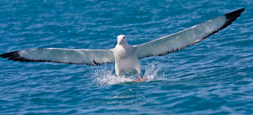 55x25cm print of a Wandering Albatross water-skiing across the sea's surface, as it comes in feet first on its landing, New Zealand.