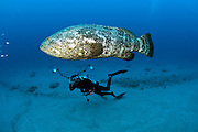 An endangered Goliath grouper, Epinephelus itajara, swims alongside an underwater photographer in Palm Beach County, Florida, United States