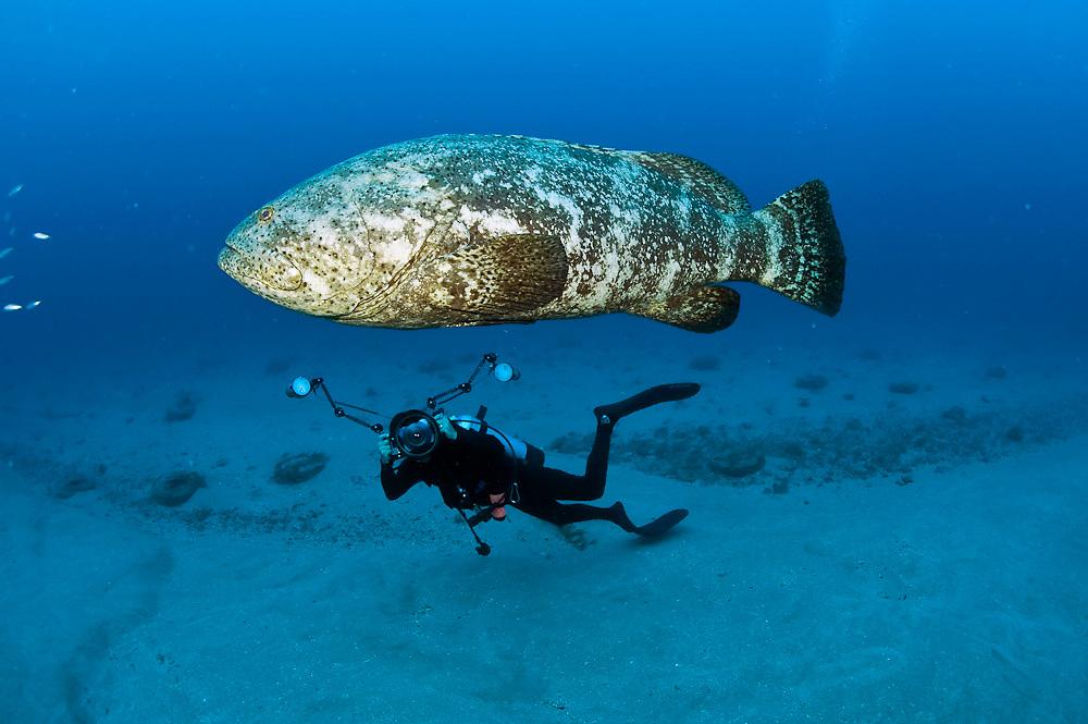 An endangered Goliath grouper, Epinephelus itajara, swims alongside an underwater photographer in Palm Beach County, Florida, United States