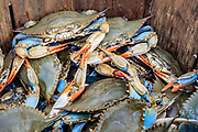 A fresh caught bushel of blue crabs on the Outer Banks of NC.