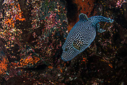 Guineafowl Pufferfish (Arothron meleagris)<br /> Tower Island<br /> Galapagos<br /> Pacific Ocean<br /> Ecuador, South America