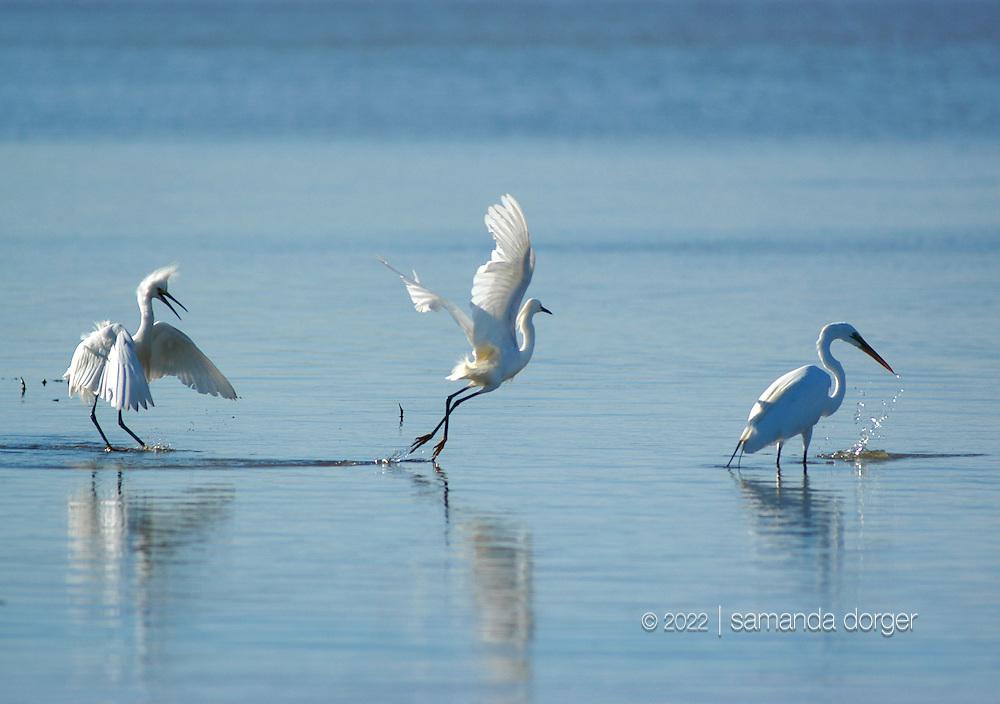 Snowy egrets and a great egret fish near Cuttings Wharf Road, Napa River, Napa, CA USA.