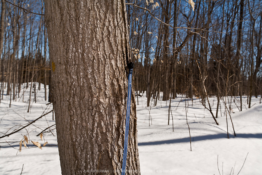 The tools and equipment in a maple sugar bush to collect and move sugar maple sap.