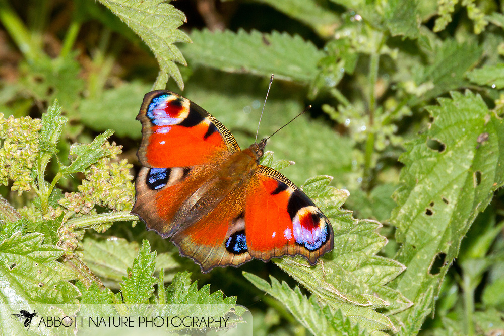 European peacock (Aglais io)<br /> UNITED Kingdom: England<br /> Wicken Fen Nature Preserve off Lodge Lane<br /> 18-Jul-2017<br /> J.C. Abbott