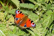 European peacock (Aglais io)<br /> UNITED Kingdom: England<br /> Wicken Fen Nature Preserve off Lodge Lane<br /> 18-Jul-2017<br /> J.C. Abbott