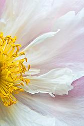 peony flower closeup (Paeonia suffruticosa)