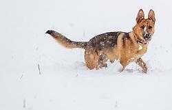 28.04.2017, Piesendorf, AUT, Wintereinbruch in Salzburg, im Bild ein Schäferhund spielt im Schnee // A German Shepherd plays in the snow in Piesendorf, Austria on 2017/04/28. EXPA Pictures © 2017, PhotoCredit: EXPA/ JFK