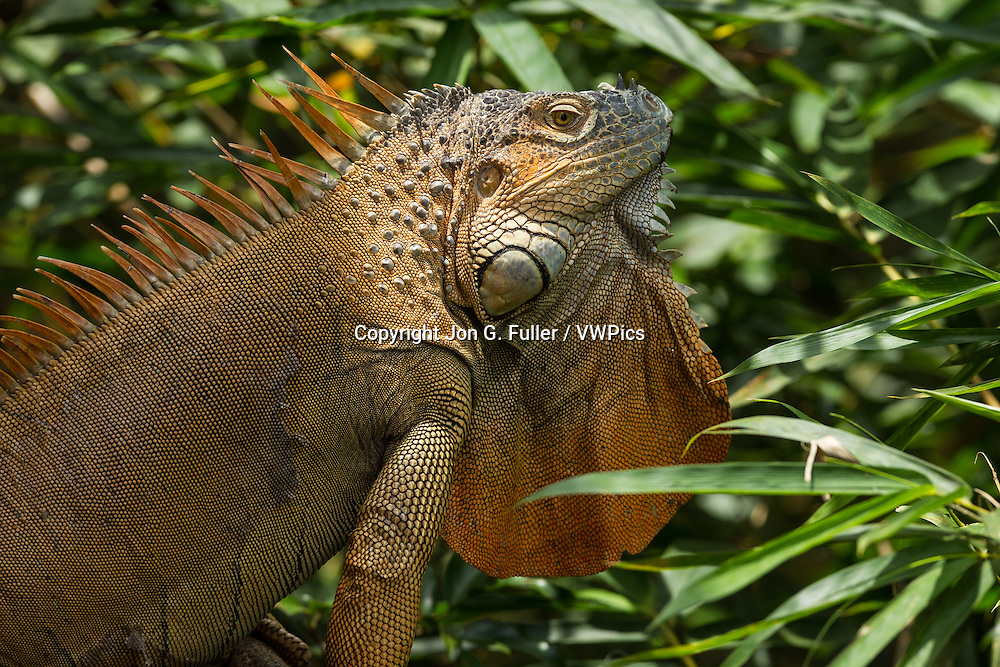 A large adult Green Iguana, Iguana iguana, in a tree in the rainforest in Costa Rica.