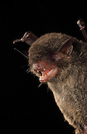 Black Myotis Bat (Myotis nigricans), La Selva Biological Station, Costa Rica.<br />