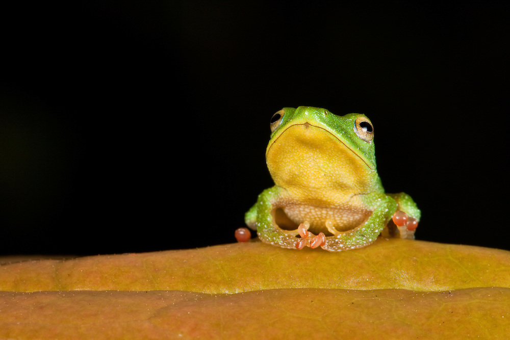 A Green Rain Frog, Pristimantis viridis, in the Chocó.