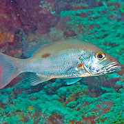 Mahogany Snapper inhabit reefs, in Tropical West Atlantic; picture taken St. Vincent.