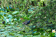 Common Moorhen, Gallinula, with chick (also known as Marsh Hens) on a pond in Oxfordshire