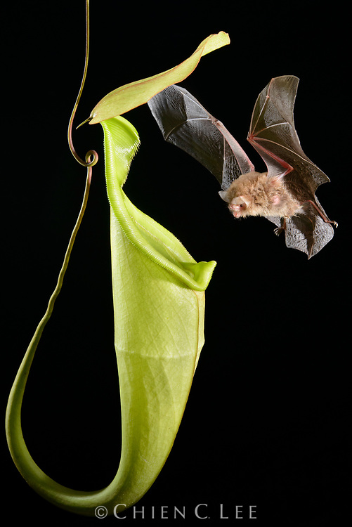 A Hardwicke's Woolly Bat (Kerivoula hardwickii returns to its roost in a pitcher of Nepenthes hemsleyana. This recently discovered mutualism benefits both parties. The bats obtain a secure shelter safe from predators and rain, and the plants derive a significant portion of their nitrogen from the bat's droppings. Belait, Brunei Darussalam.