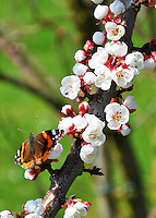 Switzerland. Springtime. Close-up of a butterfly on apricot blossoms.