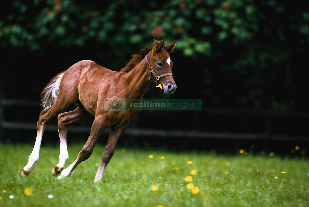 July 21, 2019 - Horoughbred Foal Running; Ireland (Credit Image: © The Irish Image Collection/Design Pics via ZUMA Wire)