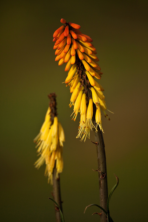 Red hot poker on the Guassa Plateau, Ethiopia