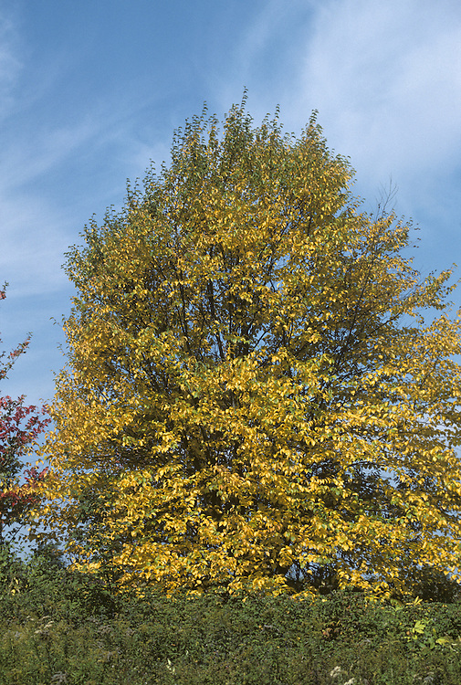 Paper-bark Birch (Canoe-bark Birch) Betula papyrifera (Betulaceae) HEIGHT to 23m. A stout, spreading tree. Best recognized by studying its leaves. BARK Mostly white and smooth, flecked with grey or sometimes orange or brown; it peels horizontally into strips. BRANCHES Spreading, the shoots covered in rough warts and a few long hairs. LEAVES Large by birch standards (to 10cm long), dull green and with only 5 pairs of veins; they are borne on hairy stalks. REPRODUCTIVE PARTS Catkins, females of which eventually produces winged seeds. STATUS AND DISTRIBUTION A native of northern N America from the east to the west coast. It is planted here as an ornamental tree, mainly for the novelty of its bark.