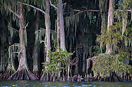 Cypress trees in Lake Fausse Pointe State Park.