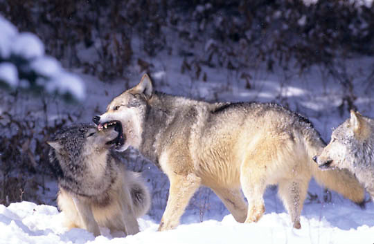 Gray Wolf, (Canis lupus) Submitting to alpha male. Rocky mountains. Montana.  Captive Animal.
