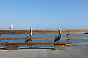 Pelicans and Seagulls on Balboa Pier Newport Beach California