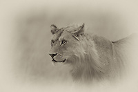 Male lion, Central Serengeti