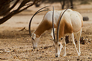 Israel, Aravah desert, A Herd of Scimitar Oryx or Scimitar-horned Oryx (Oryx dammah), also known as the Sahara oryx, is a species of Oryx now extinct in the wild.