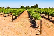 rows of grape vines on a vineyard near Waikare, South Australia, Australia <br /> <br /> Editions:- Open Edition Print / Stock Image