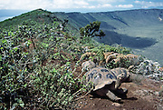 Galápagos giant tortoises (Chelonoidis nigra, formerly Geochelone elephantopus) live on the rim of Alcedo Volcano, Isabela Island, Galapagos Islands, Ecuador, South America. Galapagos Islands, Ecuador. This species is the largest living tortoise and is native to seven islands of the Galápagos archipelago. Fully grown adults can weigh over 300 kilograms (661 lb) and measure 1.5 meters (5 feet) over the curve of the shell. They are long-lived with a life expectancy of up to 100-150 years in the wild. Populations fell dramatically because of hunting and the introduction of predators and grazers by humans since the 1600s. Only ten subspecies of the original twelve exist in the wild. Since Galápagos National Park and the Charles Darwin Foundation were established, hundreds of captive-bred juveniles have been released back onto their home islands. In 1959, Ecuador declared 97% of the land area of the Galápagos Islands to be Galápagos National Park, which UNESCO registered as a World Heritage Site in 1978. Ecuador created the Galápagos Marine Reserve in 1998, which UNESCO appended in 2001.