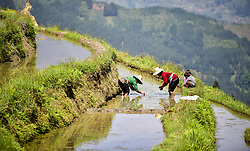 April 18, 2018 - Congjiang, China - Farmers transplant rice seedlings at fields in Congjiang, southwest China's Guizhou Province. (Credit Image: © SIPA Asia via ZUMA Wire)