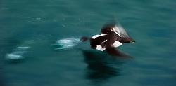 Brunnich´s Guillemot (Uria lomvia) in flight, Spitsbergen, Svalbard