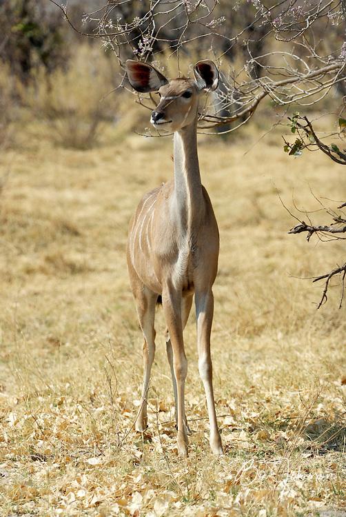 The greater kudu (Tragelaphus strepsiceros) is Africas most handsome antelope.<br /> Moremi Wildlife Reserve, Botswana.<br /> September 2007.