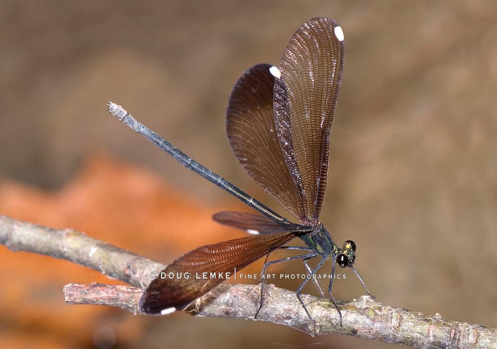 Damselfly, Ebony Jewelwing, Calopteryx maculata, Spreadwing Damselfly