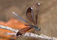 Damselfly, Ebony Jewelwing, Calopteryx maculata, Spreadwing Damselfly