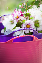 Pink and purple tub trugs with picked cut flowers. Cosmos bipinnatus 'Purity', C.b.'Candy Stripe' and Malope trifida 'Alba'