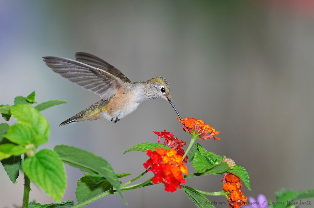 Broad-tailed Hummingbird [Selasphorus platycercus] female ,feeding at  Lantana flowers ; Fremont County, Colorado