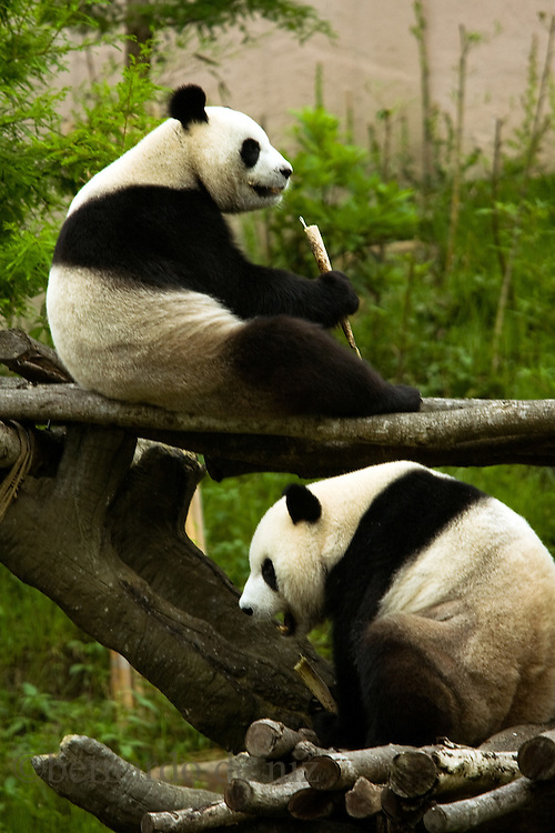 Two giant Pandas gave as a present for the Chinese government eat bamboo at the Pandas zoo in Taipei, Taiwan, on Tuesday  May 19,2009/ Photographer: Bernardo De Niz/
