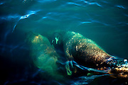 Two walruses, Odobenus rosmarus, diving beneath the ocean surface in Kane Basin, Nares Strait, Greenland.