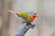 Waxbills, Mannikins, Finches & Firefinches