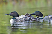 Male and female loon feeding chick dragon fly larvae while riding on the back of a parent.