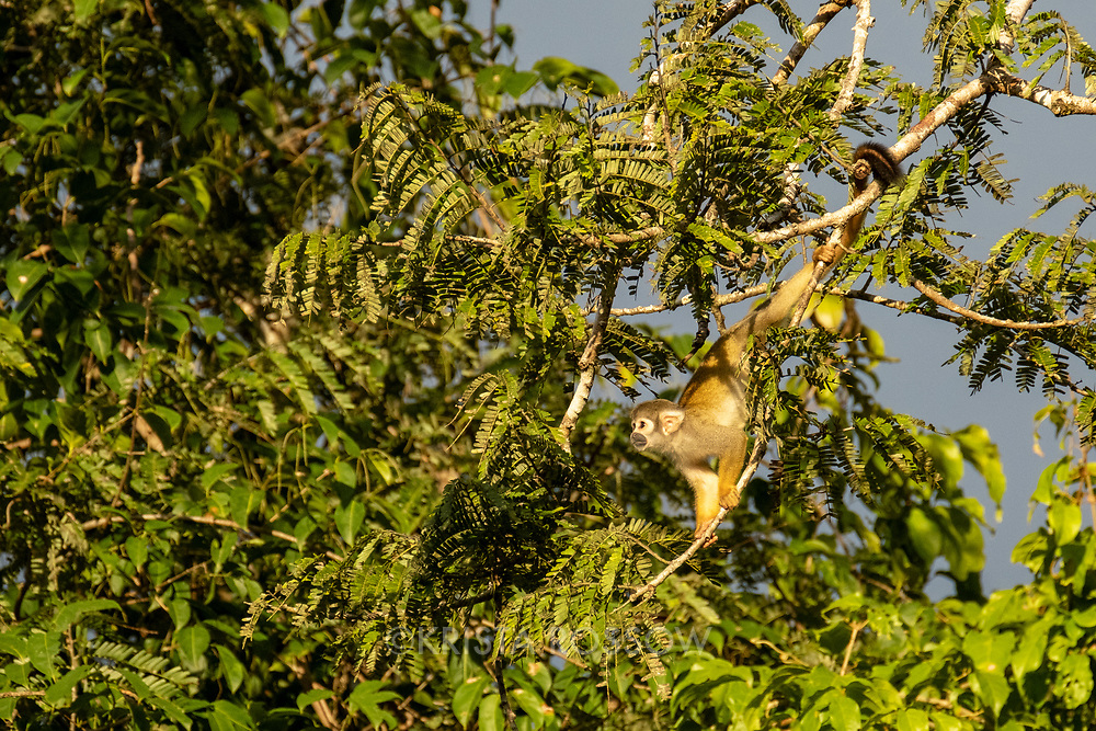 A squirrel monkey climbs on a tree branch over Nauta Creek off of the Maranon River in the Peruvian Amazon.