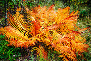 With its autumn colors, this fern on the Wilson Creek Trail in Grayson Highlands appears on fire. A Kodachrome 25 filter was applied, with a slight reduction in contrast and green saturation.