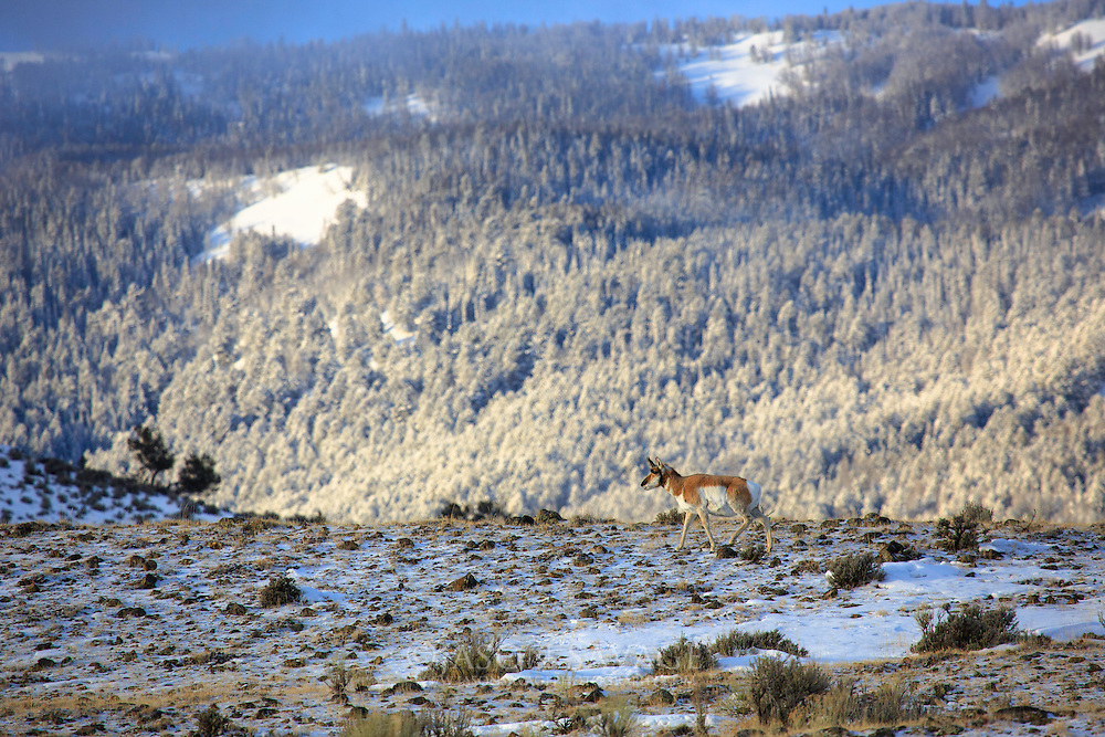Pronghorn in Yellowstone National Park, Montana.