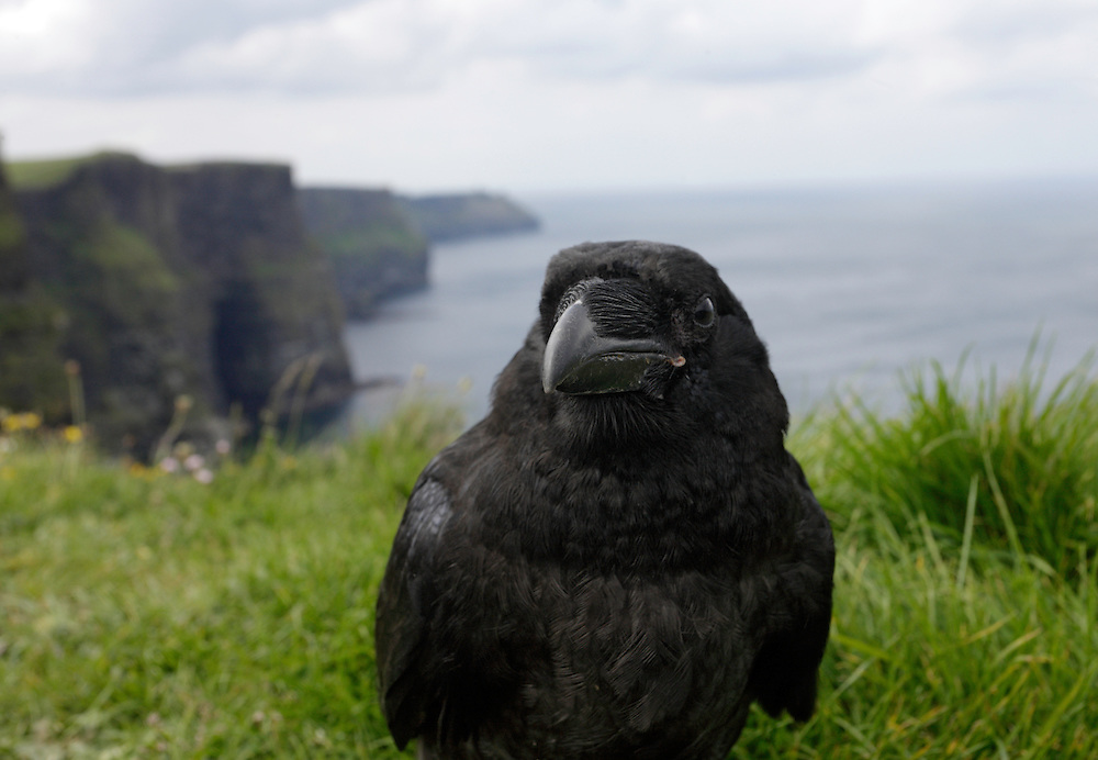 Tame raven (Corvus corax) at Cliffs of Moher, Ireland