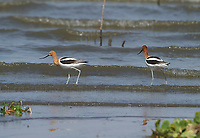 Pair of American Avocet (Recurvirostra americana) foraging along Lake Chapala, Jocotopec, Jalisco, Mexico