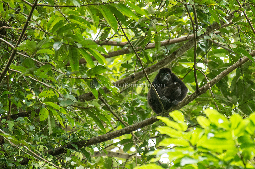 Howler monkey, Alouatta Alouattinae, with a juvenile in Panama.