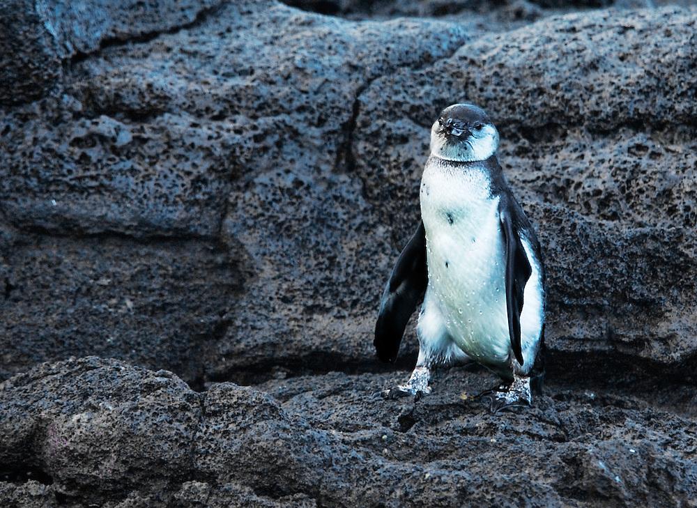 Santa Cruz Galapagos Penguin
