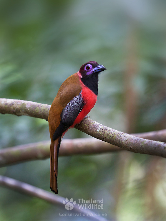 The Diard's trogon (Harpactes diardii) is a species of bird in the family Trogonidae. It is found in the south of  Thailand. Its natural habitat is subtropical or tropical moist lowland forests.