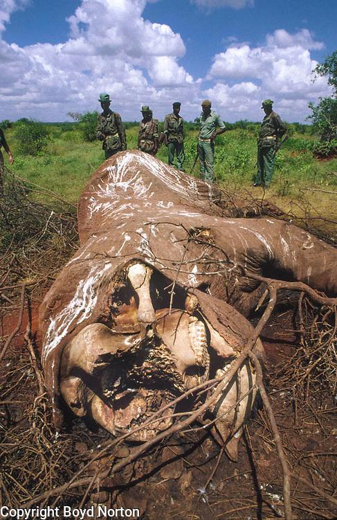 elephant killed by poachers, Tsavo National Park, Kenya