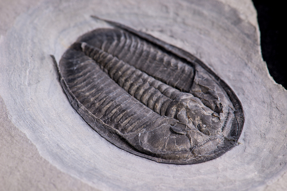 This is one of the biggest examples (sagittal length: 68mm)  of Cernuolimbus found in the Upper Cambrian McKay Group